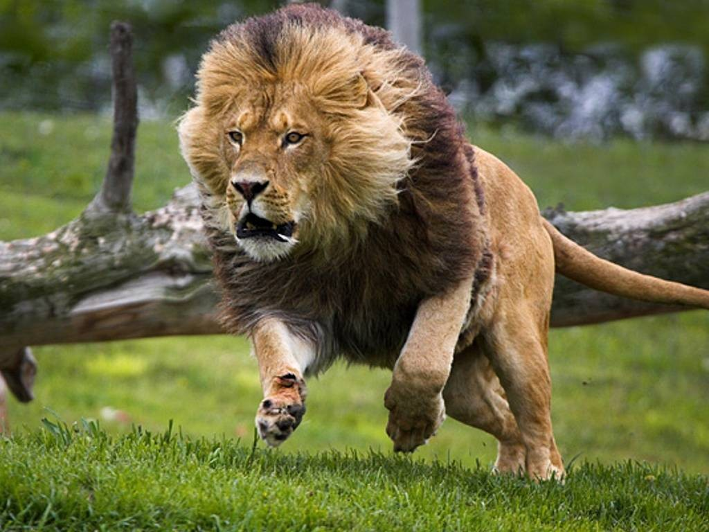 Hd Lion Pictures Lions Wallpapers: Download HD Wallpapers: Download Lions HD Wallpapers