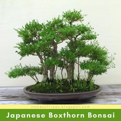 Japanese Boxthorn Bonsai