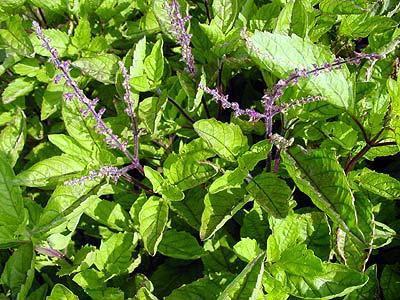 Nhân trần Việt nam - Adenosma caeruleum - Nguyên liệu làm thuốc Chữa Cảm Sốt