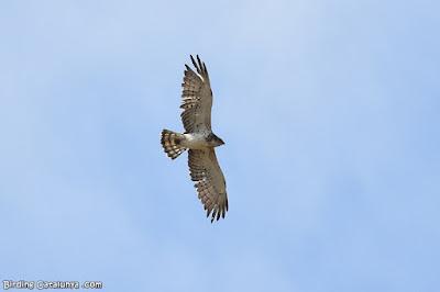 Àguila marcenca al Parc Samà