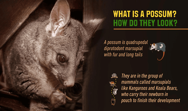 What do you know about possums?