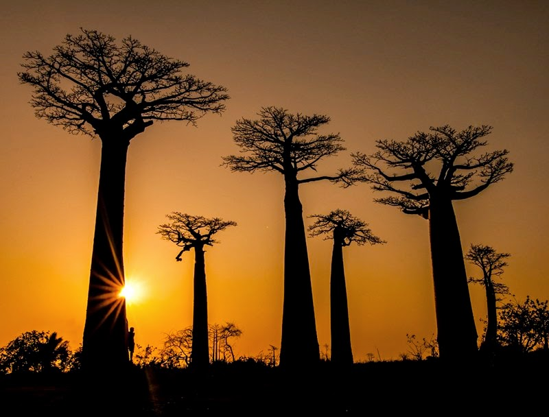 Giant trees in Madagascar