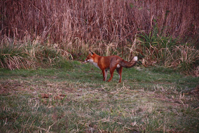 Fox sighted at New Ferry Butterfly Park