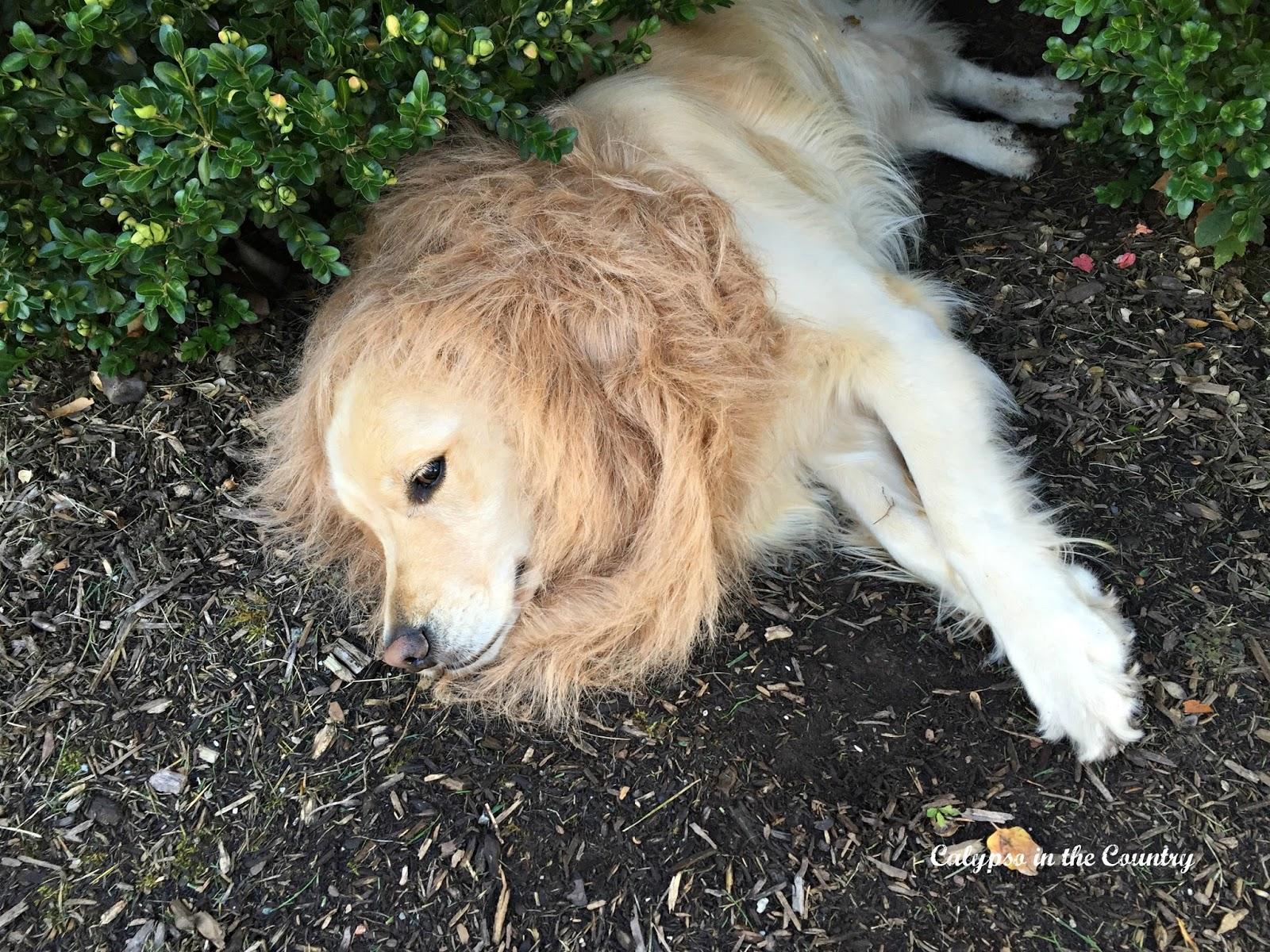 Lion Mane Costume for dog
