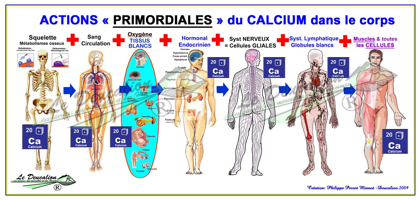 calcium corps humain