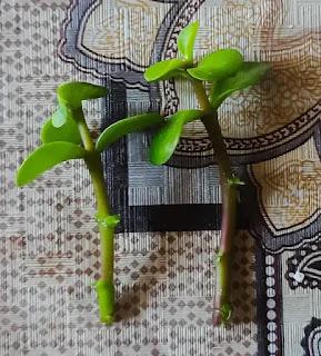 Propagating Jade plant