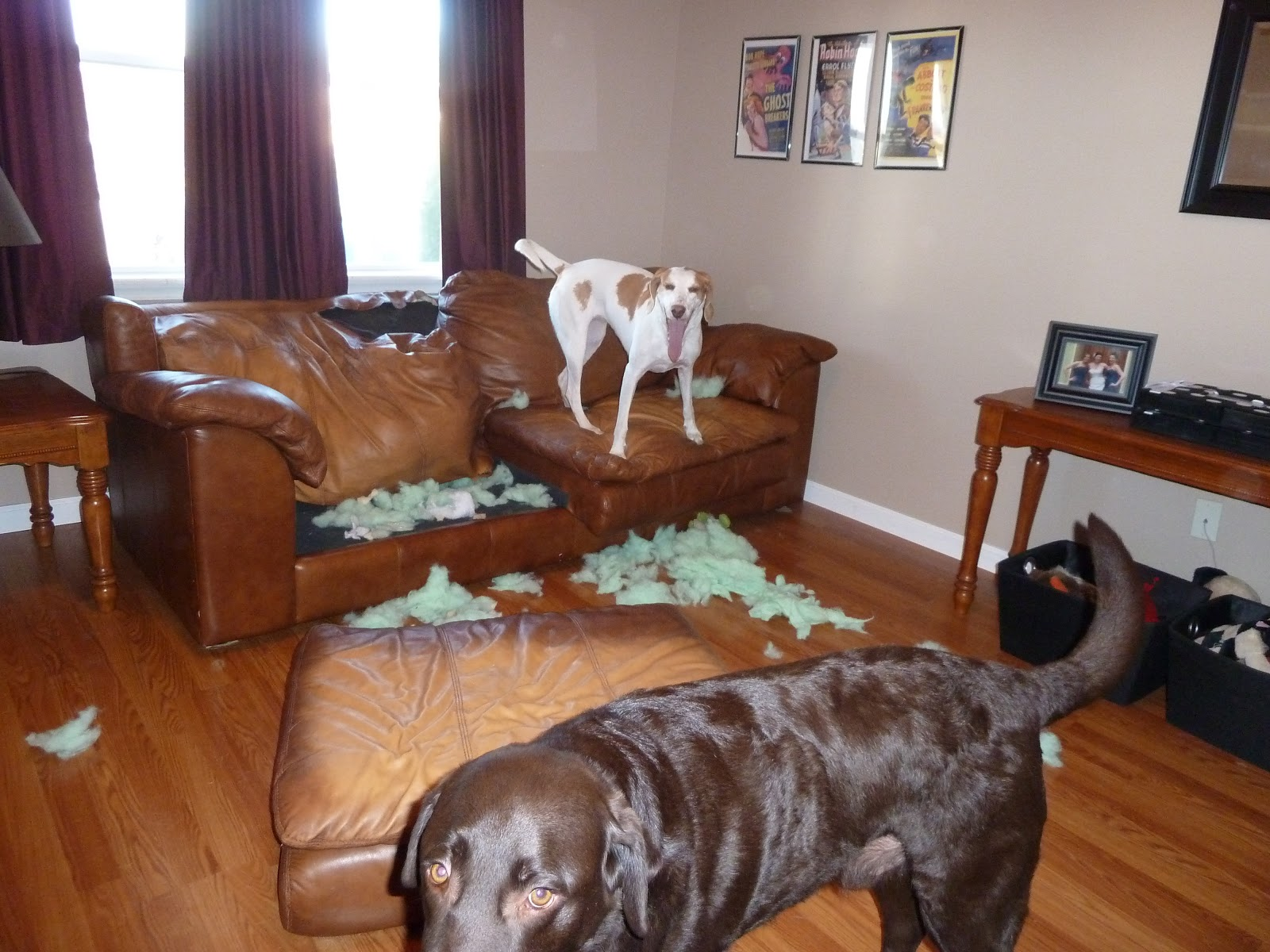 Dog Chewing Couch Goldenacresdogs Com