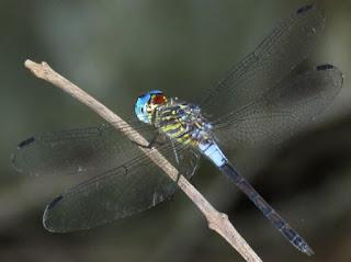 Cannaphila insularis, Gray-waisted Skimmer