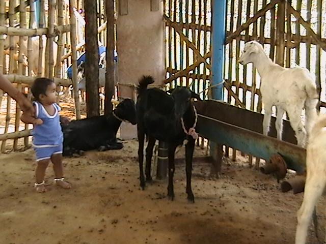 Goat Farming Innovative Farming Solutions
