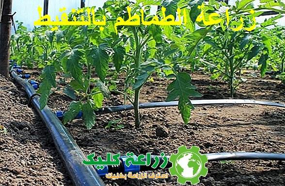 زراعة الطماطم بالتنقيط
