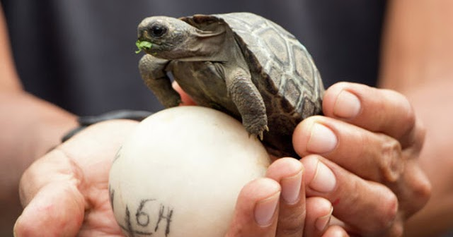 For The First Time In Over 100 Years They Find Baby Turtles In The Galapagos Islands