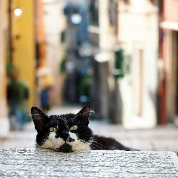 rovinj cat