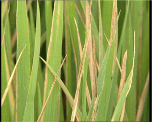 Bacterial leaf blight of Rice treatment