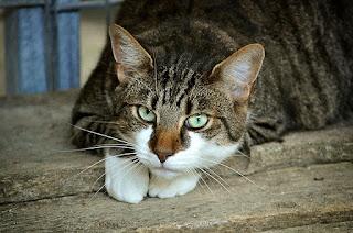Jangan Pernah Memotong Kumis Kucing! Ini alasannya