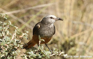 Red-rumped Bush-Tyrant