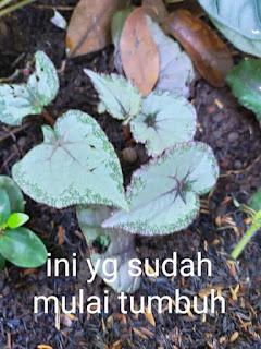 Cara menanam Dan Memperbanyak Begonia Dengan Mudah