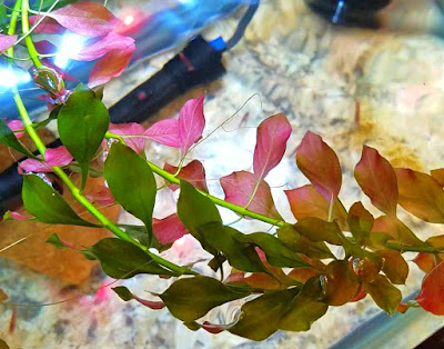 ludwigia repens or broadleaf ludwigia in a planted tank