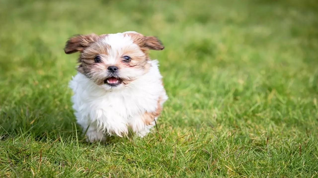 Race de chien Shih Tzu : Caractère, santé, alimentation, prix et Formation