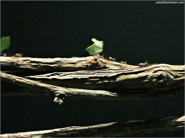 Colonia de Hormigas Cortadoras de Hojas en el Insectarium de Montreal