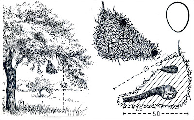 Espinero chico Phacellodomus sibilatrix
