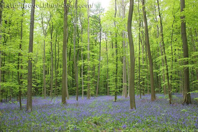 Bluebells in Belgium Best spring destinations in Europe
