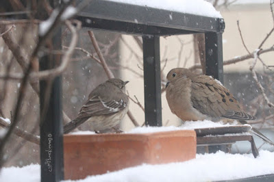 "The sixthbird-themed image in this post. This picture shows two birds standing on a garden shelf during a snowfall. A Northern mockingbird is on the left and a Mourning dove is on the right.  These bird types are featured in my book series, ""Words In Our Beak."" Info re my books is included within another post on this blog @ https://www.thelastleafgardener.com/2018/10/one-sheet-book-series-info.html"