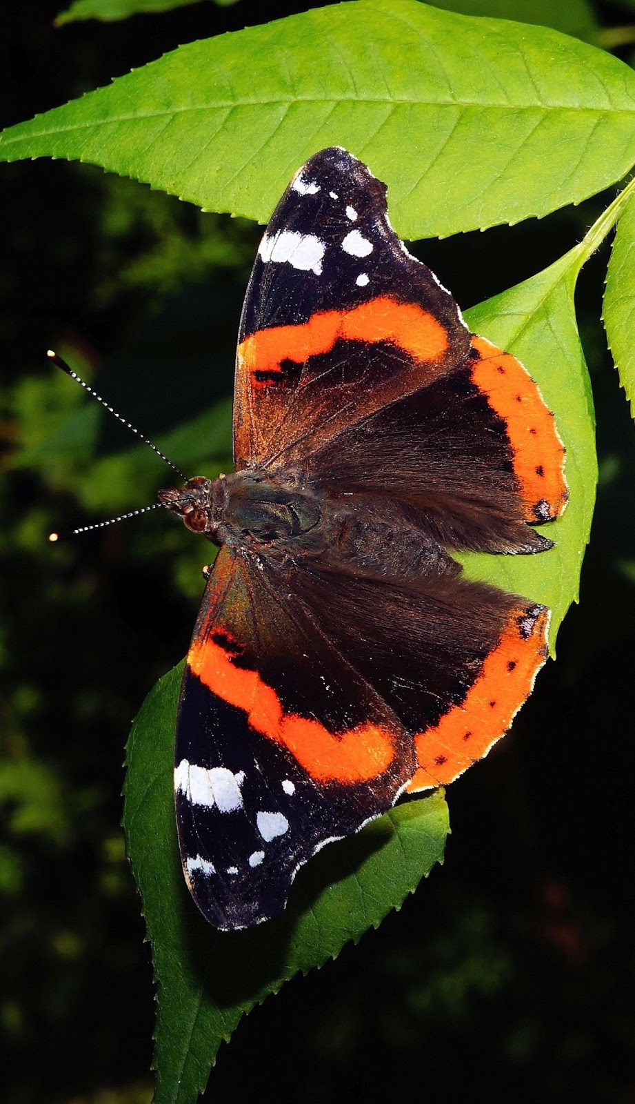 A butterfly with it's wings spread.