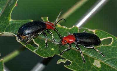 Escarabajo del mburucuyá (Cacoscelis nigripennis)