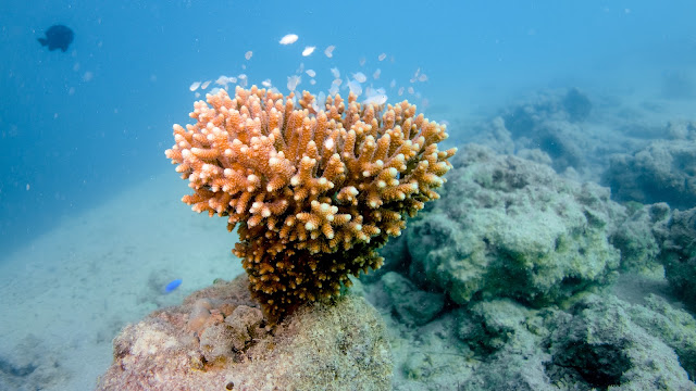 Tonga coral serves for many fishes