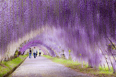 Wisteria Flower Tunnel, Kawachi Fuji Garden, Kitakyushu, Japan