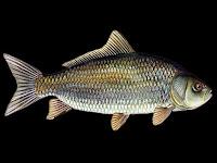 Usumacinta Buffalo Fish Pictures