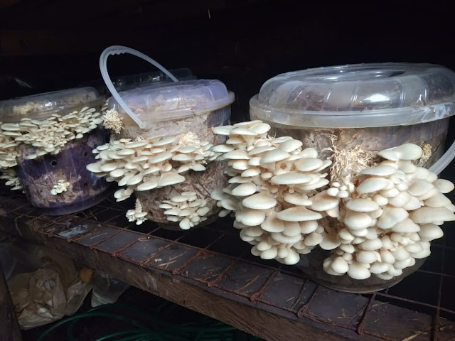 mushroom farming in Kenya
