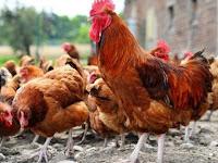 Panduan Lengkap Budidaya Ayam Kampung Petelur yang Benar dan Baik