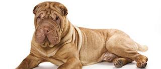 El shar pei es un canino responsable y protector que el dueño de un perro experimentado puede desear echarle un vistazo