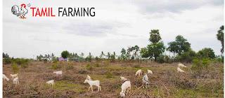 goat farming in tamilnadu, aadu valarpu, ஆடு வளர்ப்பு, ஆட்டு பண்ணை, adu valarpu, attu pannai, aadu valarpu tamil, aadu valarpu pannai