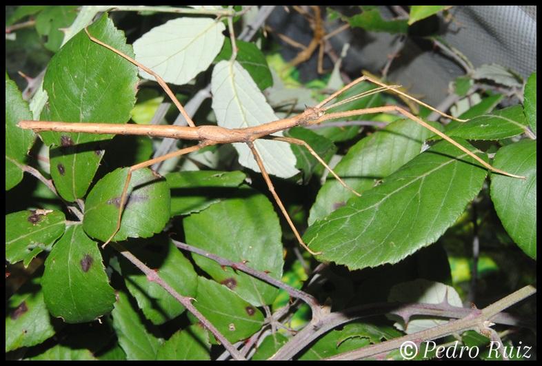 Ninfa macho L5 de Onchestus rentzi, 6,5 cm de longitud
