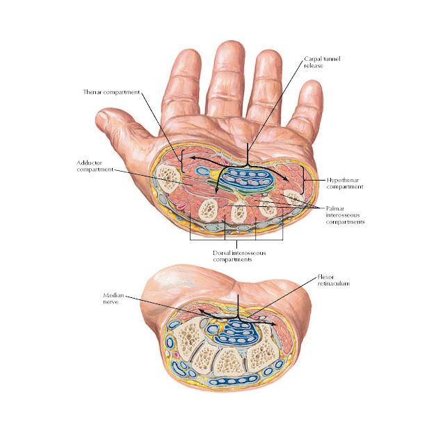Section Through Metacarpal and Distal Carpal Bones Anatomy
