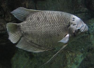 Cara budidaya ikan gurami - pustakapengetahuan.com