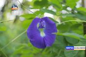 Memiliki Banyak Manfaat, Bunga Telang Mulai Dibudidayakan