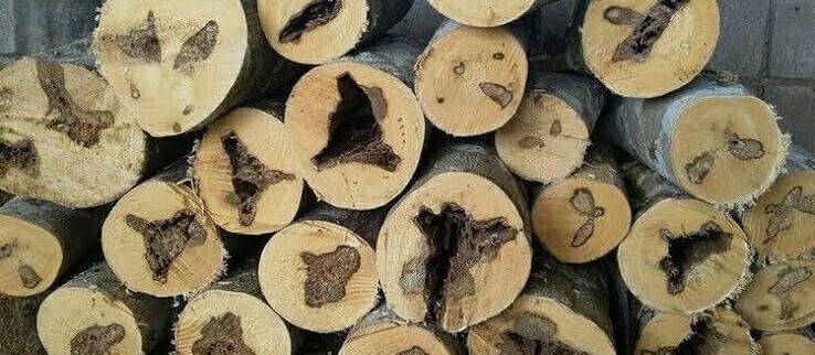kayu gaharu kalimantan