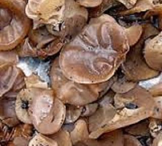 cara mengolah jamur kuping basah,cara memasak jamur kuping goreng tepung,cara mengolah jamur kuping kering,resep jamur kuping,cara mengolah jamur kuping hitam,