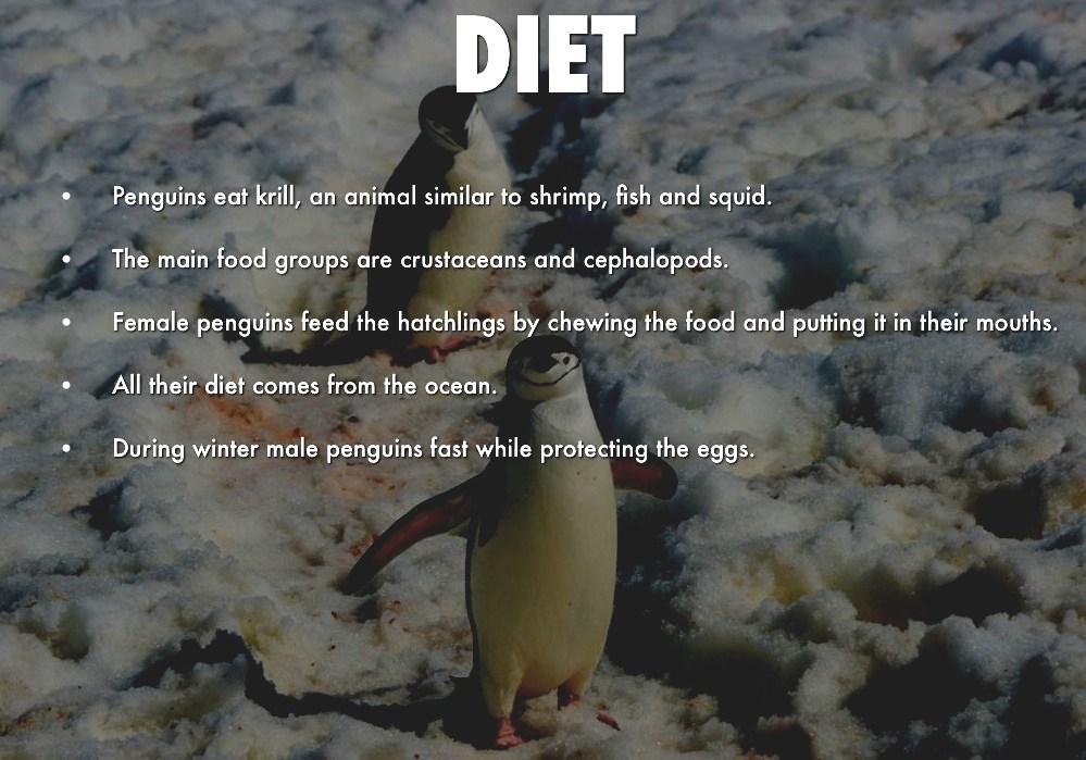 Gentoo Penguin - Penguin Diet Facts