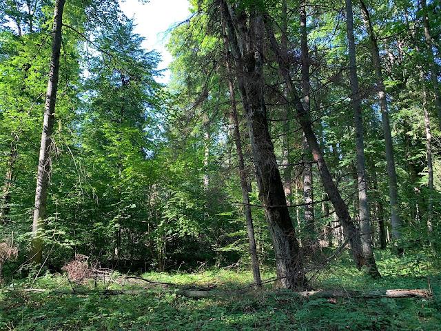 Szukasz pomysłu na wycieczkę weekendową w Polsce? Oto pomysł na weekend w Polsce: Białowieża i Puszcza Białowieska na Podlasiu. Sprawdź co zrobić, co zobaczyć i jakie atrakcje tu na Ciebie czekają.