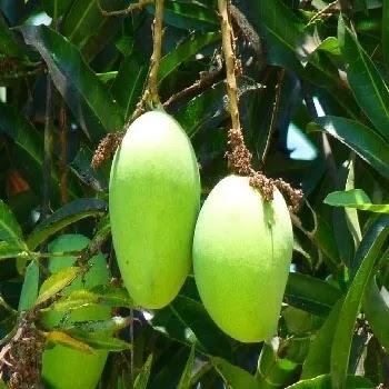 कैरी, Unripe Mango fruits name in Marathi