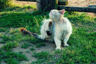 Penyakit Kutu pada Kucing Kampung
