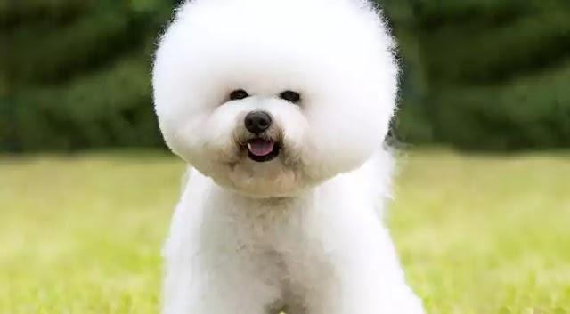 Bichon Frise Dog Breed Info: Price, Characteristics, Aggressiveness & Facts