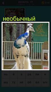павлин со странным оперением белого цвета с синими перьями