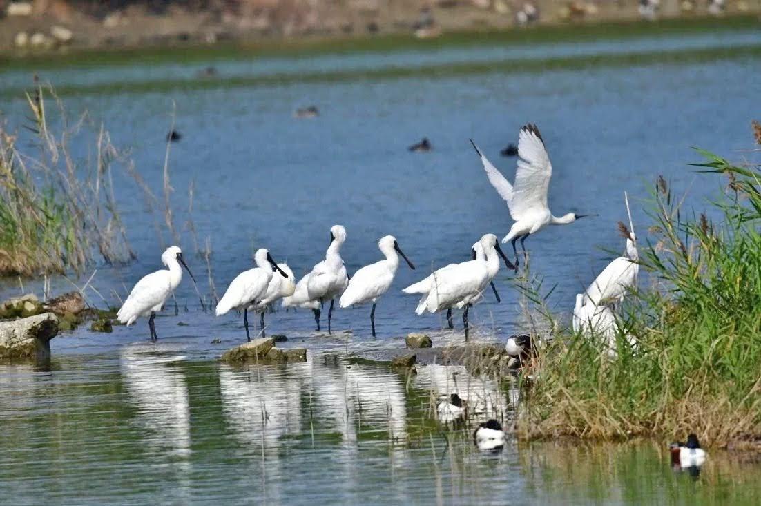 黑面琵鷺來台過冬已破千隻 2020黑面琵鷺保育季11/22登場