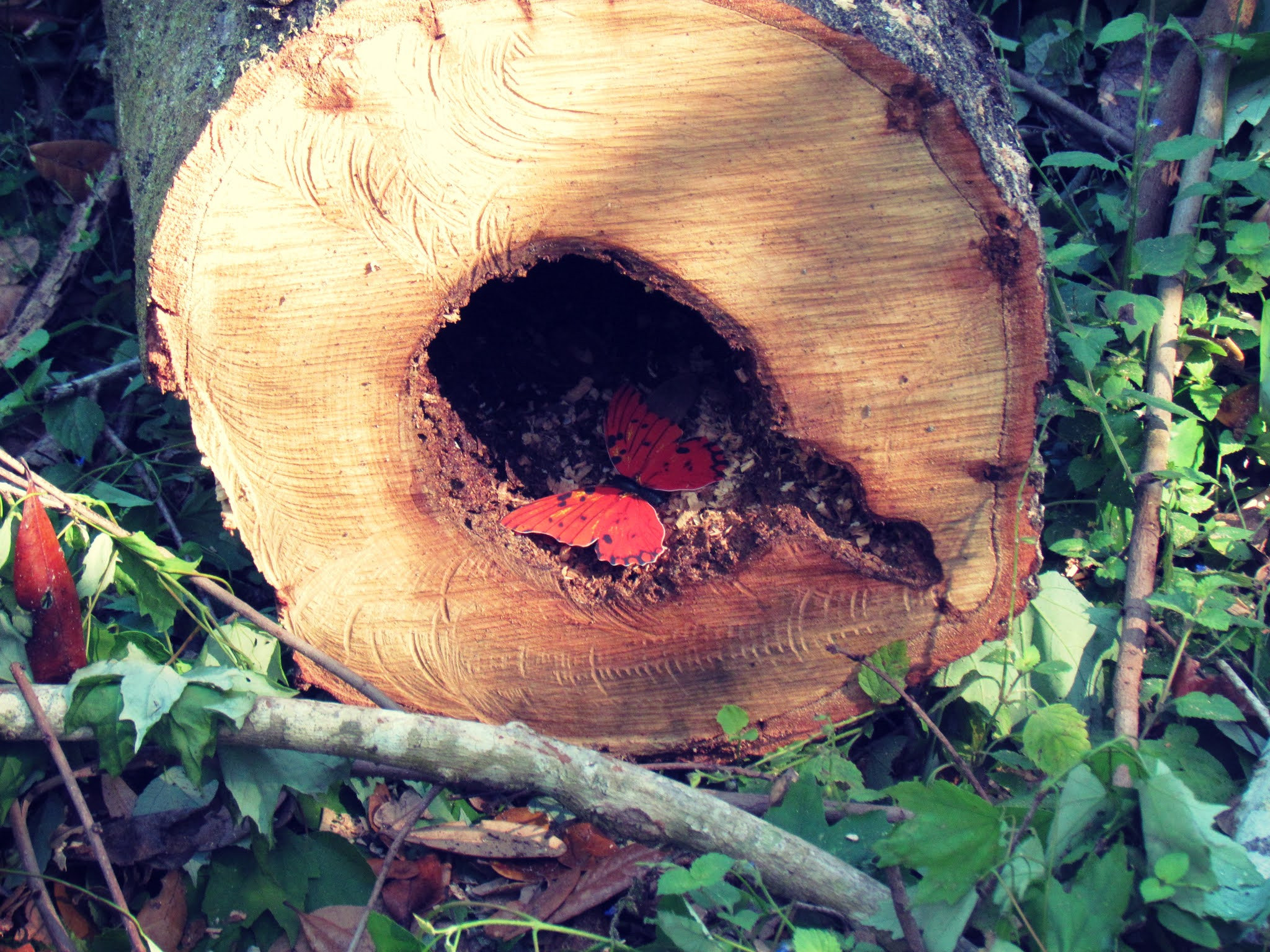 A wooden log in mother nature with a red toy butterfly magnet in the woodland trees and redwood forest