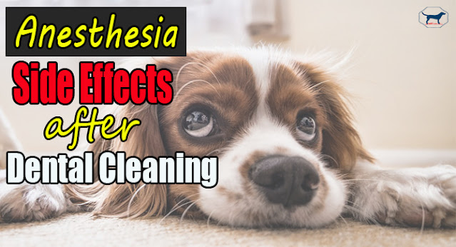 anesthesia-side-effects-after-dogs-dental-cleaning